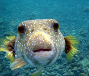 Puffer fish portrait
